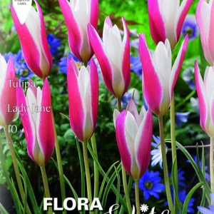 Botanikai (vad) tulipán