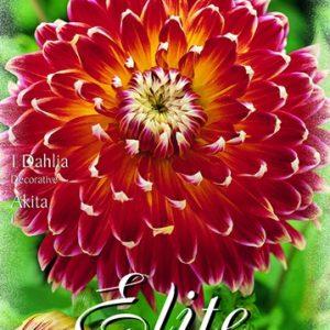 Erős vörös, bordó dália virág. A sziromlevelek szélei hirtelen törtfehérbe mennek át.