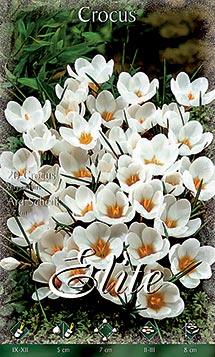Fehér színű sáfrányvirágok