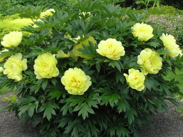 Halványsárga peónia-bokor. sárga Bazsarózsavirágok