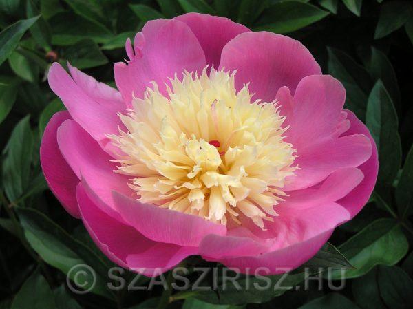 Évelő, rózsaszín, halványsárga peóniavirág (bazsarózsa)