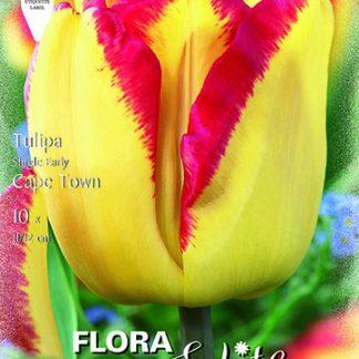 Egyszerű virágú késői tulipán