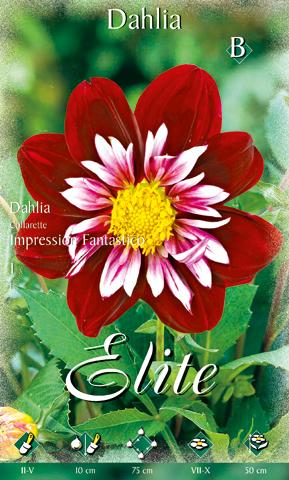 Vörös bíborszínű dália virágja. A virág nem teljesen bíbor, hanem a belső sziromlevelek fehér-rószaszínűek. Nagyon imporesszív.