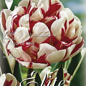 Teltvirágú tulipán