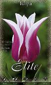 Liliomvirágú tulipán