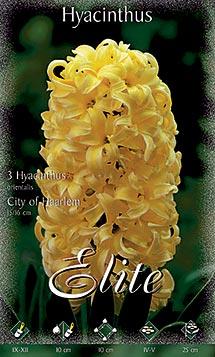 Érdekes (sötét-barack, bézs) színű jácint virág