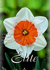 Fehér nárcisz, narancssárga belső kör.