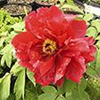 Halványpiros peonia virágja (halványpiros bazsarózsa)